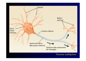 Neurone multipolare