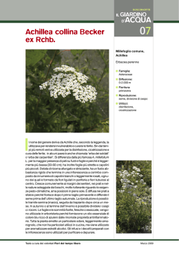 007 Achillea collina Becker