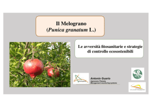 Il Melograno (Punica granatum L.)