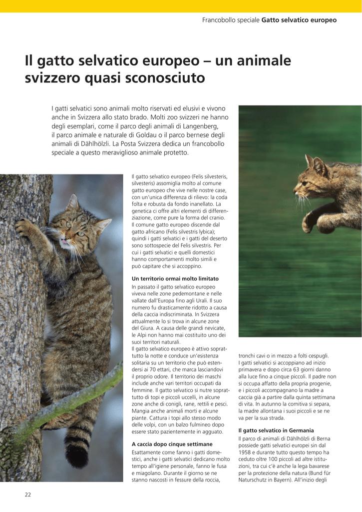 Il Gatto Selvatico Europeo Un Animale Svizzero Quasi