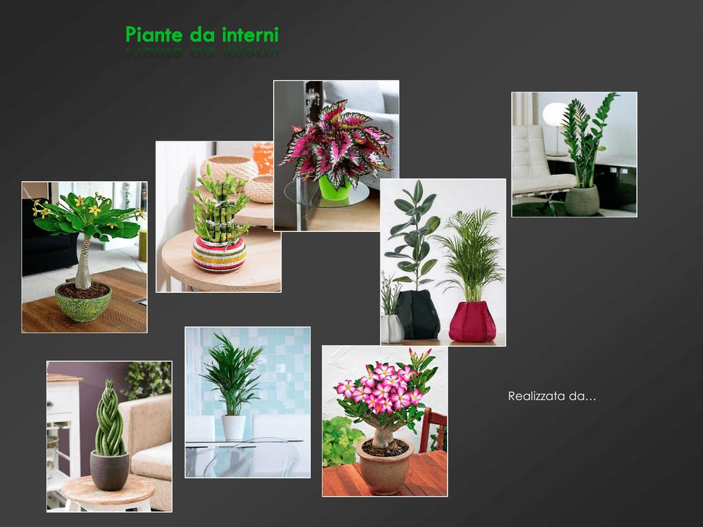 Potare Il Ficus Elastica file `presentazione piante da interni`