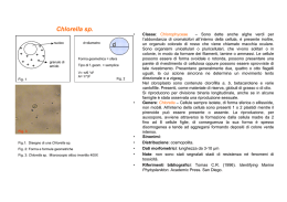 Chlorella sp. (modificato