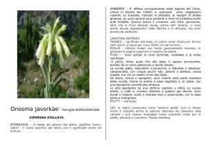 Spagnolo oche fiorellini fiori mare-Erigeron karvinskianus
