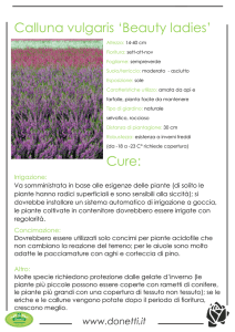 Calluna vulgaris `Beauty ladies` Cure: